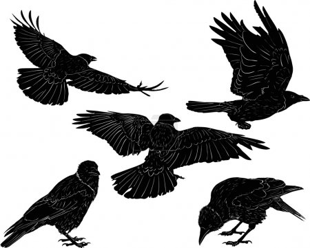 Set of five black crows isolated on white
