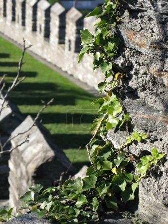 Photo pour Ivy buisson sur un ancien mur. Bellinzona, Suisse - image libre de droit