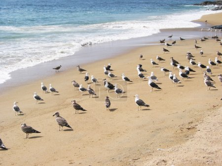 Seagulls on the beach of Vina del Mar, Chile