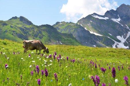 Photo pour Vache dans un pré alpin. Melchsee-Frutt, Suisse - image libre de droit