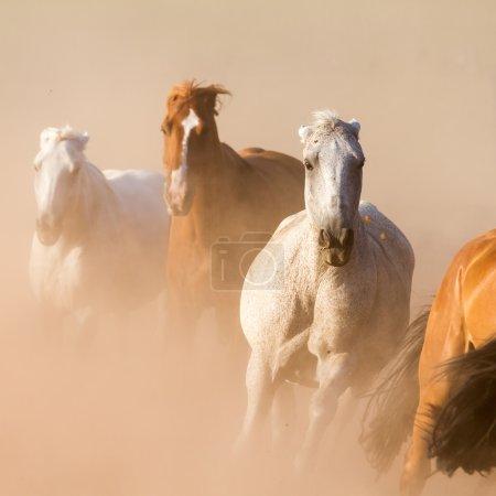 Photo pour Joli troupeau de galops dans la poussière - image libre de droit