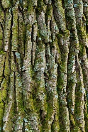 Photo pour Vieil écorce de chêne lichen - image libre de droit