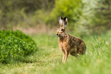 Photo for European hare (Lepus europaeus) on the field - Royalty Free Image