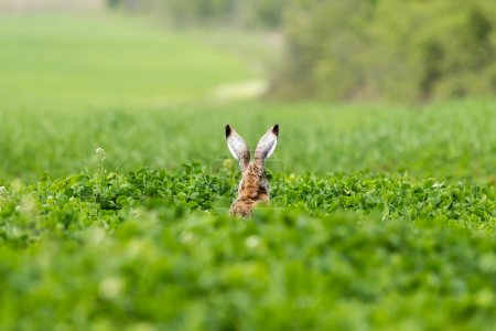 Photo for European hare (Lepus europaeus) on the green field - Royalty Free Image