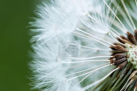 Photo for Dandelion inside,macro photography in spring - Royalty Free Image