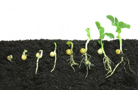 Photo for Pea sprouts germinating in soil - Royalty Free Image