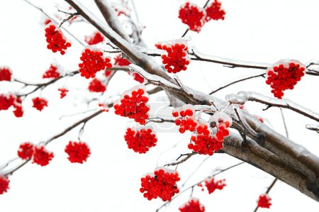 Branches of mountain ash
