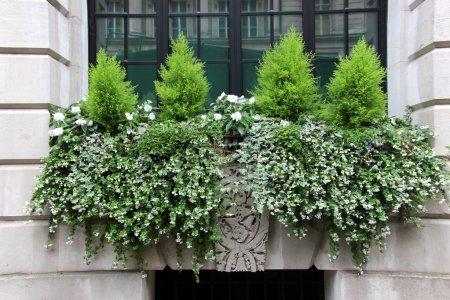 Photo pour Boîte à fenêtre traditionnelle classique avec petits conifères et fleurs blanches - image libre de droit