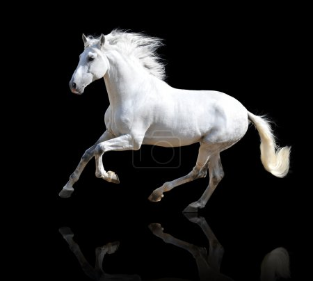 Photo for White Andalusian horse isolated on the black - Royalty Free Image