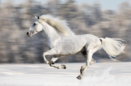Photo for White horse runs gallop in winter - Royalty Free Image