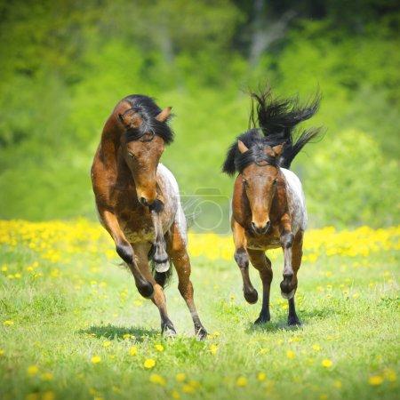 Two little appaloosa foals plaing on the meadow