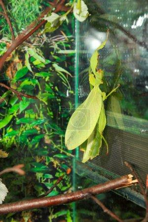 Photo pour La forme du corps est rhombique la coloration est vert clair avec les bords brunâtres du corps imitant les feuilles mortes. La taille totale est d'environ 10cm . - image libre de droit