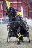 Black friesian horse carriage driving