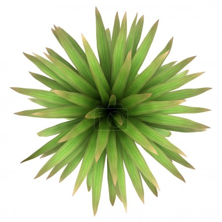 Top view of mountain cabbage palm tree isolated on white background