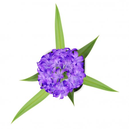 top view of purple flower in pot isolated on white background