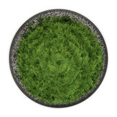 Top view of thuja plant in pot isolated on white background