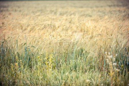 Wheaten field in a sunny day