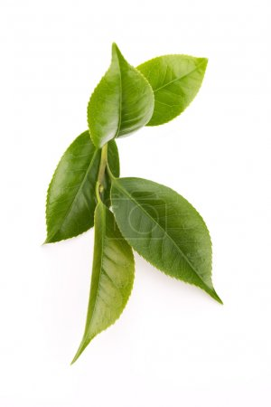 Fresh tea leaves isoalted on the white background...