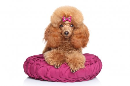 Toy poodle puppy lying on pillow