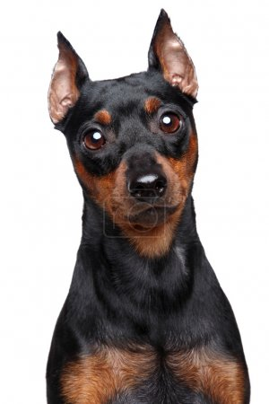 Miniature Pinscher dog. Close-up portrait on a whi...