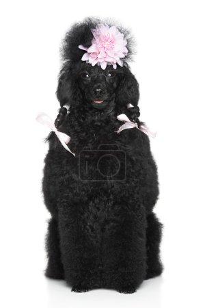 Miniature Poodle portrait on white background