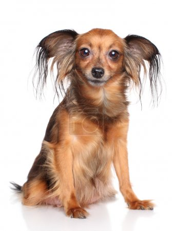 Russian long haired toy terrier dog