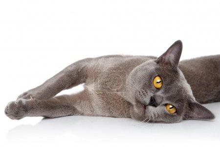 Burmese cat resting