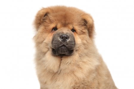 Chow chow puppy close-up portrait