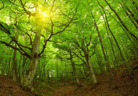Photo pour Verte forêt - image libre de droit