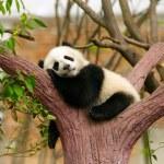 Sleeping giant panda baby...
