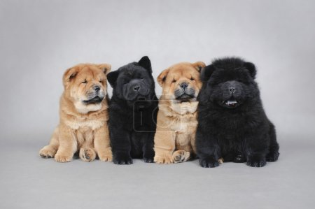 Four little Chow chow puppies portrait