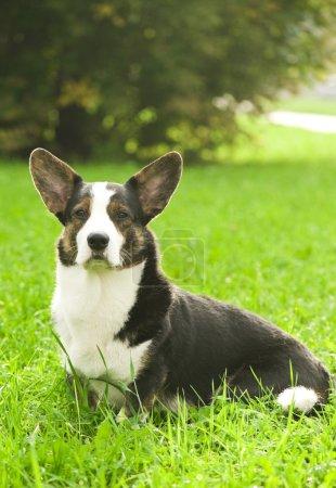 Adult welsh corgi cardigan dog outdoors...