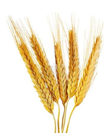Photo pour Épis de blé isolés sur fond blanc - image libre de droit