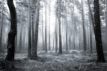 Photo pour Forêt de Spooky fogy noir et blanc abstrait au lever du soleil de printemps - image libre de droit