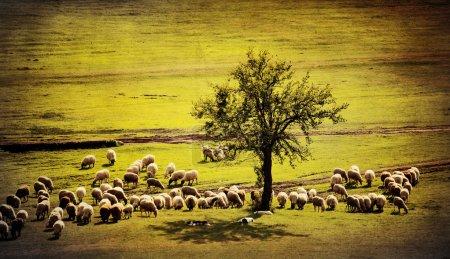 Photo pour Pastorale antique fond de terre agricole avec moutons chèvre et plusieurs chiens - image libre de droit