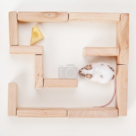 Smart mouse in maze looking for cheese