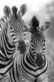 Zebra klisna a hříbě stojící blízko sebe v bush pro bezpečnost