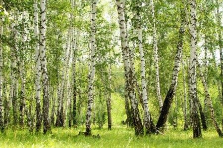 Photo pour Forêt de bouleaux. Boulaie. troncs de bouleau blanc. - image libre de droit