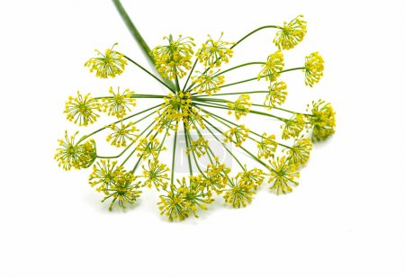 Photo for Fresh dill flowers, isolated on white - Royalty Free Image