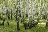 Birch forest landscape