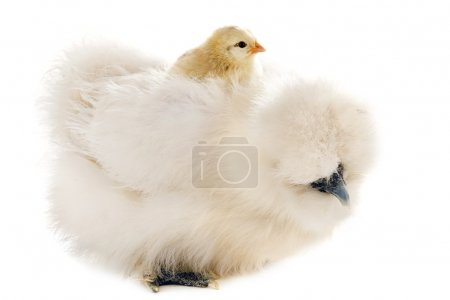 Silkie and his chick