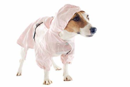 Photo pour Portrait d'une race pure jack terrier russel avec imperméable en studio - image libre de droit