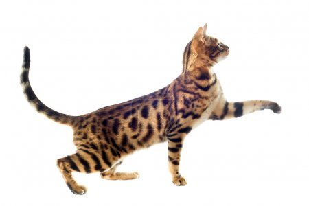 Portrait of a purebred bengal cat on a white backg...