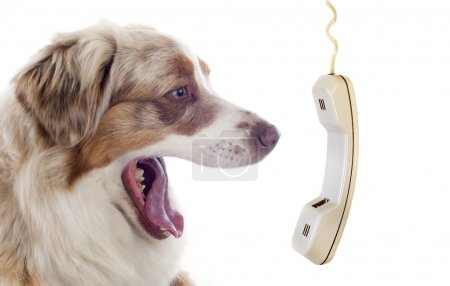 australian shepherd and phone