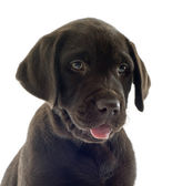 štěně Labradorský retrívr