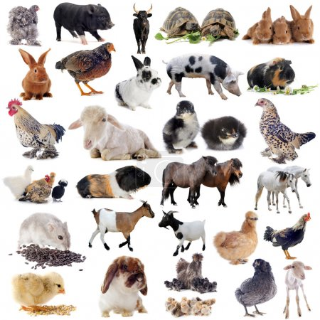 Farm animals in front of white background...