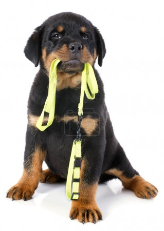 rottweiler and leash