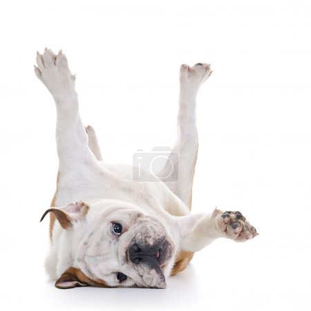 Photo for English bulldog rolling over floor, laying upside down, high key - Royalty Free Image
