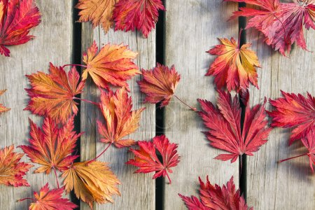 Photo for Japanese Maple Tree Leaves on Wood Deck Background in Fall Season - Royalty Free Image