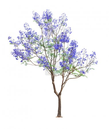 Beautiful blooming Jacaranda tree